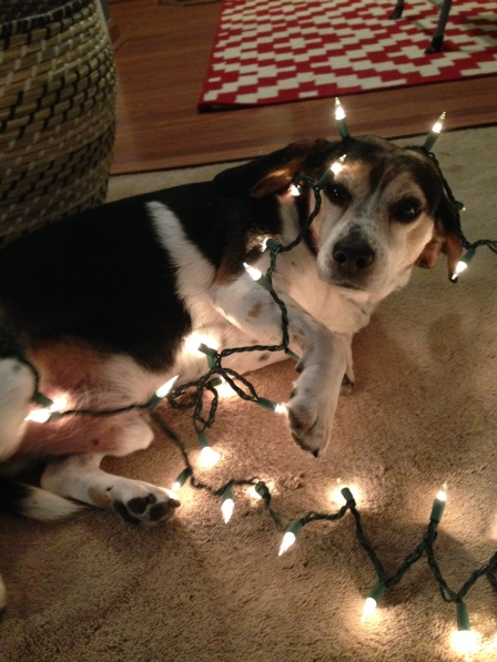 Jason the beagle all tangled up in Christmas lights on surroundedbypretty.com